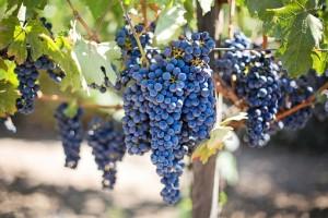 purple-grapes-553464__340