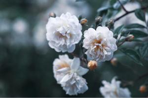 Rose de deuil